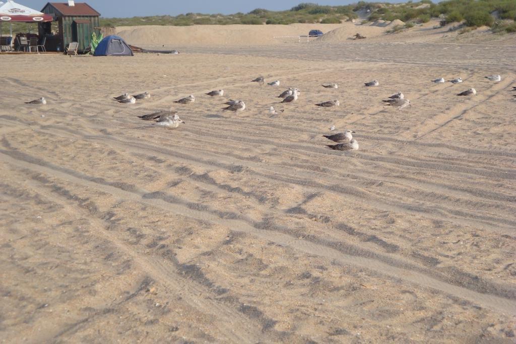 Чайки на диком пляже Витязево