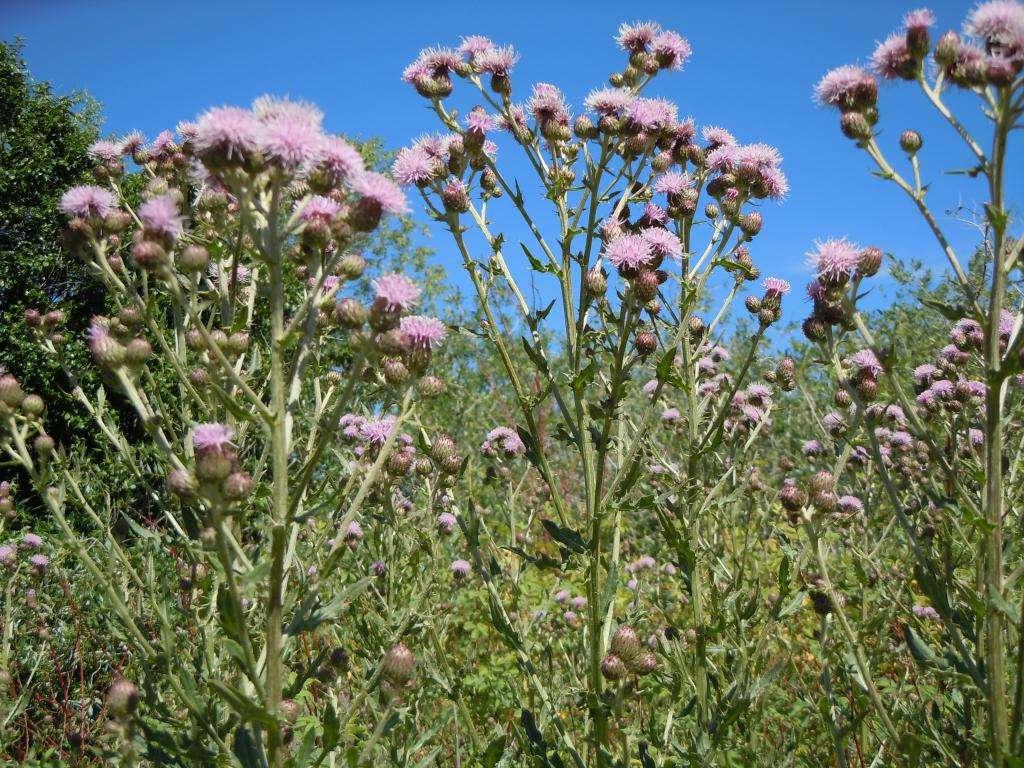 Бодяк полевой, щетинистый и седой- меры борьбы и польза