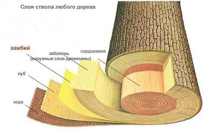 Строение ствола дерева