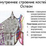 Остеоны или система Гаверсова